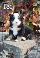 Leo Male Bernese Mountain Dog $3600