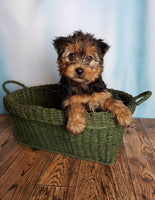 Teddy male Yorkie (Full Price $650.00) Deposit