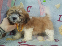 Ted Male Shih-Chon Teddy Bear (Full Price $700.00) Deposit
