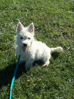 Wayne ACA Male West Highland Terrier (Full Price $600.00) Deposit