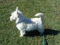 Will ACA Male West Highland Terrier (Full Price $600.00) Deposit