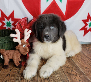 Zac Male ACA Newfoundland (Full Price $850.00) Deposit