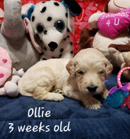 Ollie Male Goldendoodle (Full Price $1100.00) Deposit