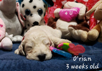 O'rian Male Goldendoodle (Full Price $1500.00) Deposit