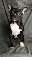 Filly: Female Frenchton Puppy For Sale (Full Price $950) Deposit