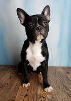 Missy Female Frenchton Puppy (Full Price $950.00) Deposit