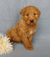 Curly Q Male Goldendoodle $695