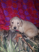 Red Male AKC Golden Retriever $650