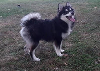 Troy Male Pomsky $599