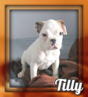 Tilly Male Frenchton $1500