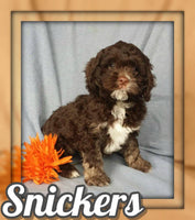 Snickers Male Cockapoo $1195