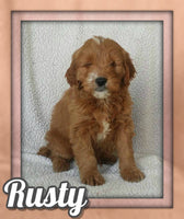 Rusty Male Mini Goldendoodle $1095