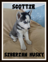 Scottie Male Siberian Husky $475