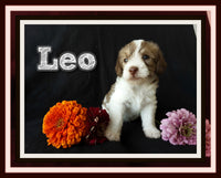 Leo Male Toy Poodle Mix $1250