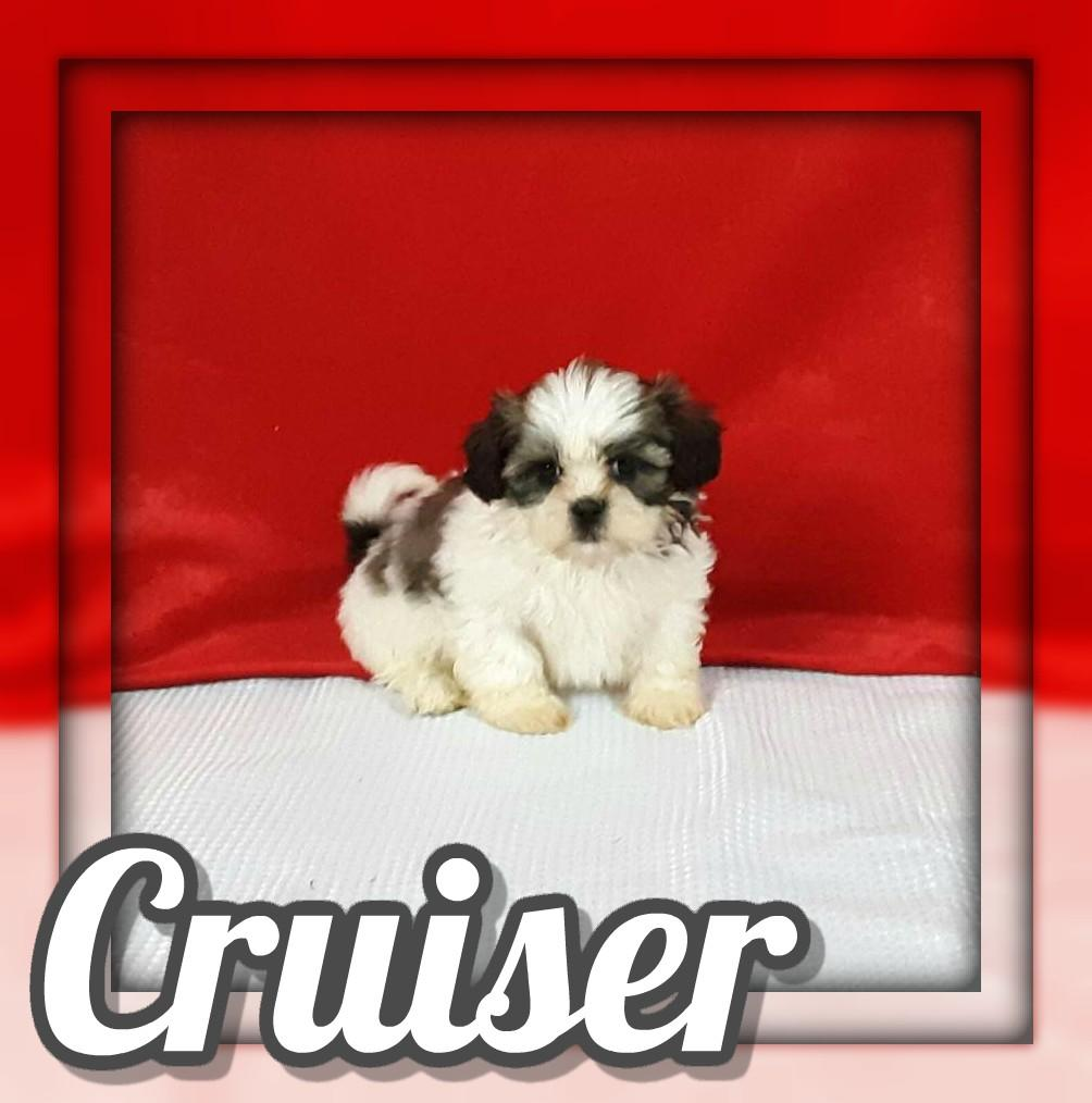 Cruiser Male Shihtzu $725