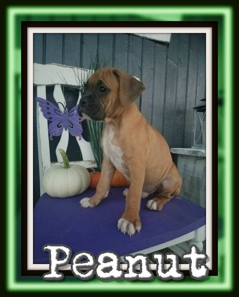 male boxer for sale near me