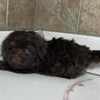 Monica Female Havanese $1300