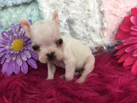 Snowflake: Female Frenchton (Full Price $1499.00) Deposit