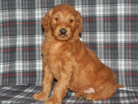 Jackson Male Goldendoodle (Full Price $950.00) Deposit