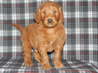 Hudson Male Goldendoodle (Full Price $950.00) Deposit