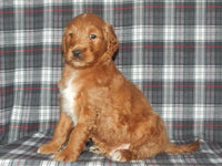 Max Male Goldendoodle (Full Price $950.00) Deposit