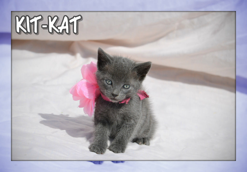 Kit-Kat Female Short Hair Kitten $350