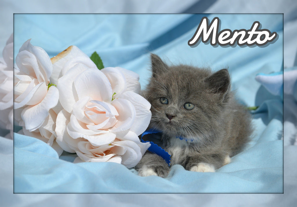 Mento Male Short Hair Kitten $350