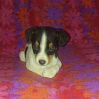 Shadow Male Toy Fox Terrier (Full Price $350.00) Deposit