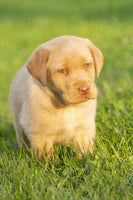 Mary Female ACA Labrador Retriever $999