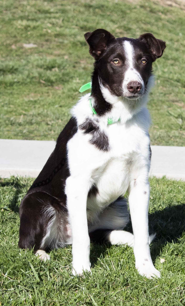 Rover Male Border Collie $560