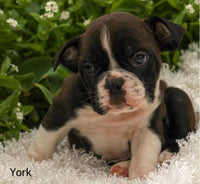 York Male English Bulldog Mix $1095