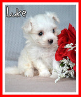 Luke Male Maltese $1800