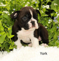 English Bulldog Mix