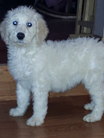 Peter Male CKC Standard Poodle (Full Price $650.00) Deposit