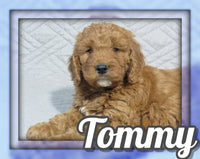 Tommy Male Mini Irishdoodle $1095