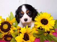 King Charles Cavalier For Sale