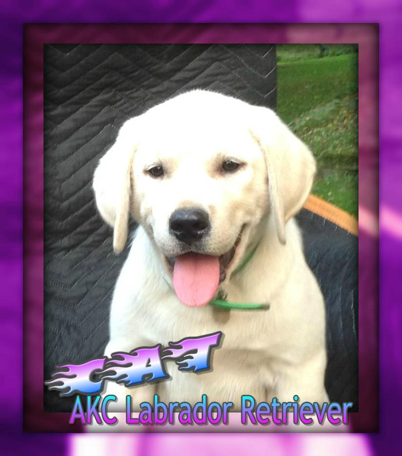 Labrador Retriever AKC Puppies for sale in Ohio