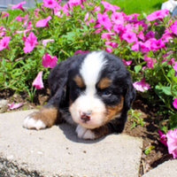 Bernese Mountain Dog Puppies for sale near me