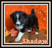 Shadow Male Australian Shepherd $1250