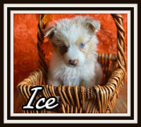 Ice Male Australian Shepherd $2000