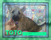 Toto: Cairn Terrier Male Puppy (Full Price $599) Deposit