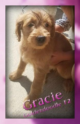 Cute Goldendoodle Puppy