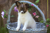 Ashley: Female Papillon (Full Price $599) Deposit