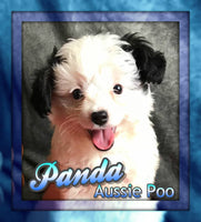 Panda: Male Miniture Aussiepoo  (Full Price $650.00) Deposit