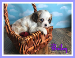Bailey Female Cavatzu $650