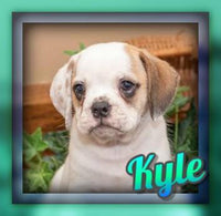 Kyle Male Beabull Puppy (Full Price 1200.00) Deposit