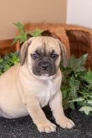 beabull puppy for sale