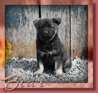 Bear Male AKC Norwegian Elkhound $850