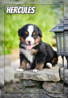 Hercules Male Bernese Mountain Dog $3600