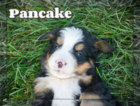 Pancake Male Bernese Mountain Dog $3600